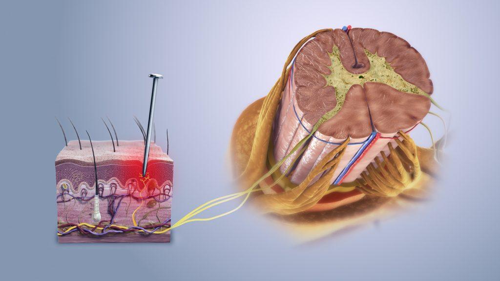 Защитни механизми болка рецептори аферентни еферентни нервна система периферна централна